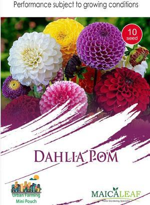 Bunga Dahlia Pom Sae Garden