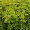 benih bayam hijau