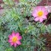 benih bunga kenikir