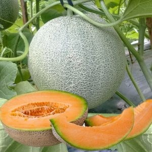 Benih Melon Orange