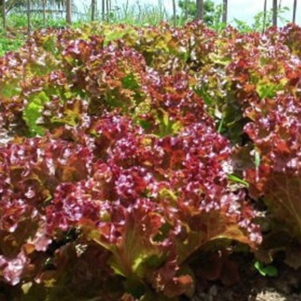 benih selada merah