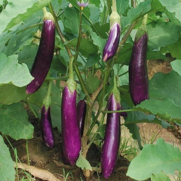 benih terong ungu f1