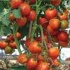 benih tomat f1