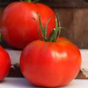 benih tomat marglobe