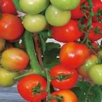 cara-menanam-tomat