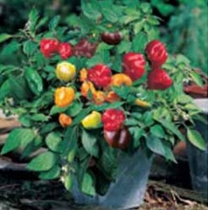 Cabe Pepper Sweet Minimix, Sae Garden